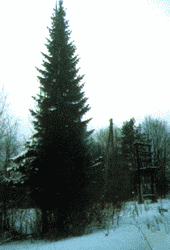 Хвойные породы деревьев